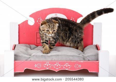 Scottish Fold bicolor kitten on a small cat-bed on a white background