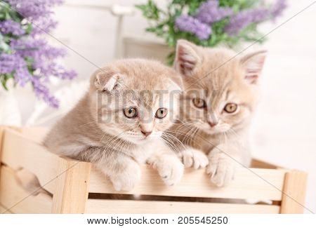 Couple of Scottish Fold cat sitting in the wooden box