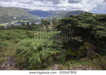 Old Juniper tree on Silver Howe with Grasmere in background Lake District Cumbria England.
