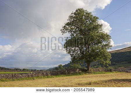 Ash tree WharfedaleYorkshire Dales National Park England.