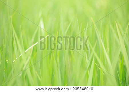 Green Rice Field Fresh Nature Grass Meadow Background Shallow Depth Of Field