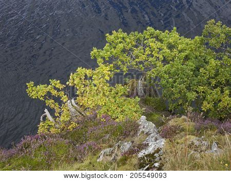 Oak and heather growing on the side of Ullswater the Lake District Cumbria England.