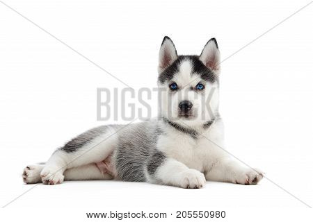 Shot of an adorable little Siberian husky puppy with blue eyes lying looking to the camera isolated on white.