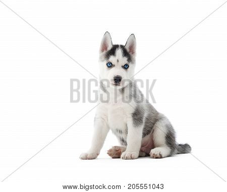 Cute little Siberian husky puppy sitting isolated on white looking to the camera copyspace.