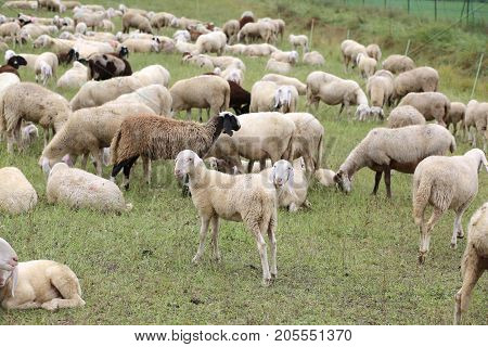 flock with so many white sheep and lambs grazing in the high mountain meadow
