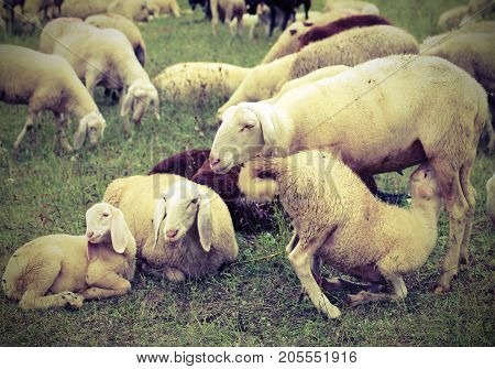 Mother Sheep Feeding Her Lamb In The Flock Of Sheep Grazing