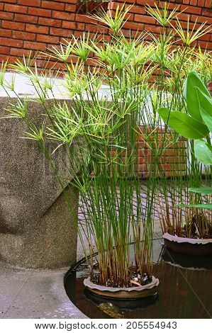 papyrus green plant ornamental plants in the park