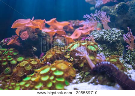 Sea Anemones Beautiful Underwater In Ocean With Sea Coral Garden And Sea Flower Colorful Nature In A