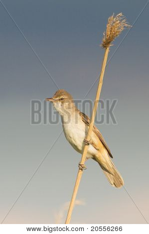 Great Reed Warbler on the reed