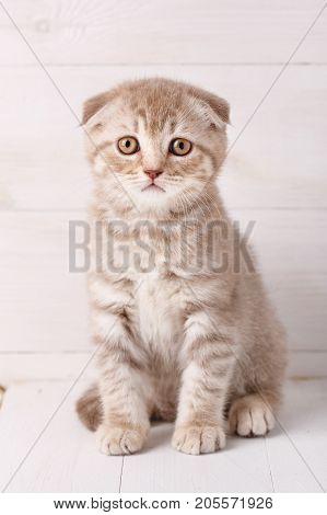 Scottish fold cat portrait. Baby animal portrait