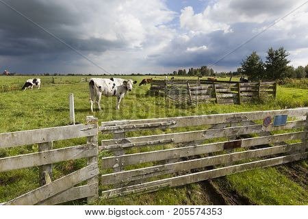Cows in the meadow of a Dutch polder landscape
