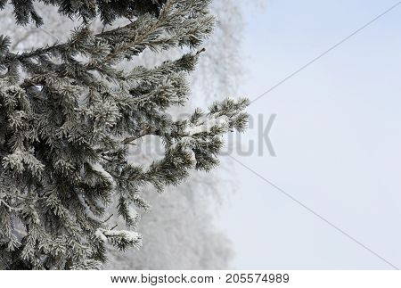 Snow-cowered fir branches. Cold winter forest background. Frost