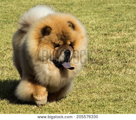 Purebred Chow Chow pet dog with blue tongue walking on grass