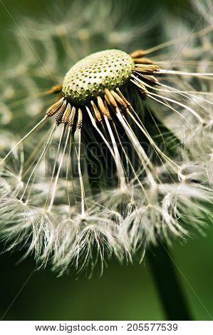 Close up of dandelion spores against black backgroun