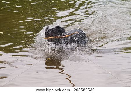 big black dog labrador retriever play with wooden stick, adult purebred lab in summer green park near the water