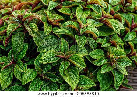 Plectranthus purpuratus or Swedish ivy - decorative mint, hybrid plant, abstract natural background