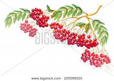Beautiful watercolor hand drawn composition with branches of Rowanberry and leaves, isolated on the white horizontal background with empty place for your text