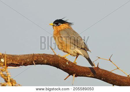 Brahminy Starling Sturnus Pagodarum Beautiful Birds Of Thailand