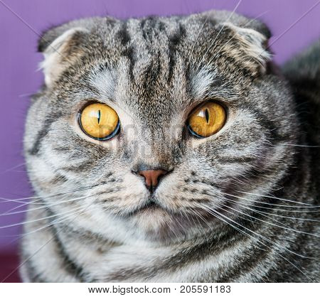 closer look of the Scottish fold cat on a purple background. portrait