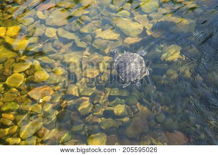 Turtle Pond slider swims in clear transparent water on the background of rock bottom