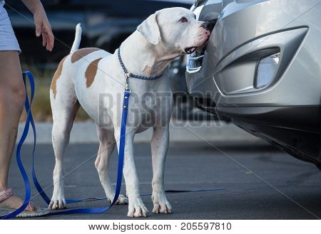 American Bulldog searching a vehicle during canine scent work