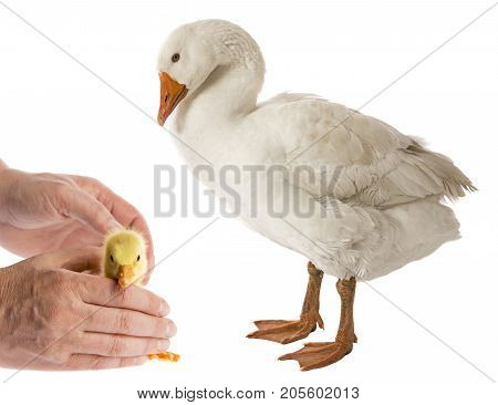 white goose and golsling (Anser anser domesticus) isolated on a white background