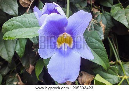 Blue Trumpet Vine, Ecuador, Native to the Amazon