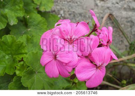 Hot Pink Dwarf Geranium in the Garden