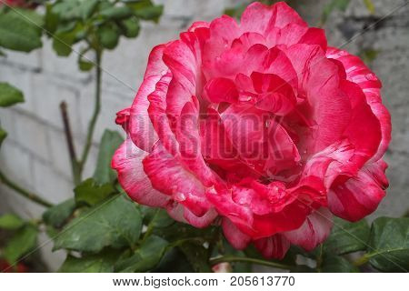 Deep Pink and Whit Bi-color Rose in a Garden Bed