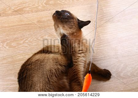 Siamese Or Thai Cat Plays With A Toy. Cat Invalidated Itching. Three Paws, No Limb.