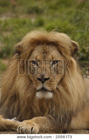 African Lion Portrait 4
