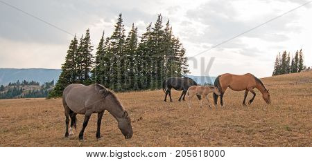 Wild  Horses - Small herd (band) with baby foal colt grazing at sunset on Sykes Ridge in the Pryor Mountains Wild Horse Range in Montana United States