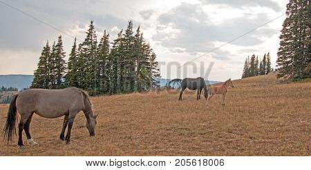 Wild Feral Horses - Small herd (band) with baby foal colt grazing at sunset on Sykes Ridge in the Pryor Mountains Wild Horse Range in Montana United States