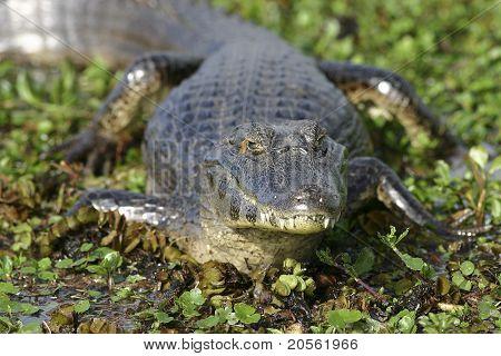 Pantanaal Caiman