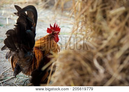 Portrait of beautiful Chicken with rice straw foreground at farm in Thailand. Food and Agriculture industry
