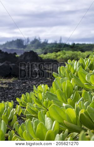 plants of foliage with black lava rock in background