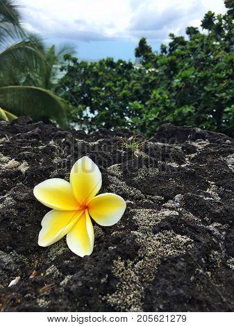 plumeria flower on lava rock in maui hawaii