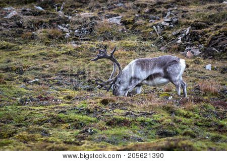 Svalbard reindeer (Rangifer tarandus platyrhynchus) eating grass and lichen in its natural habitat in Svalbard tundra. Smallest subspecies of reindeer endemic to Svalbard.