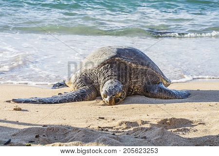 turtle lays on beach and sunbathing in maui hawaii