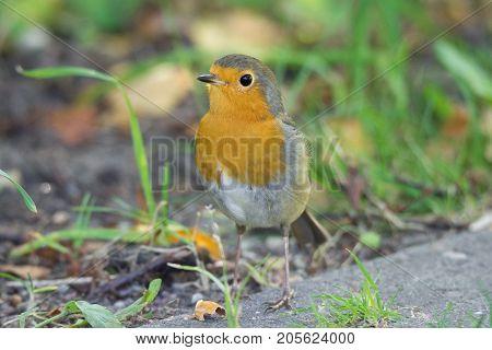 robin on the grass beautiful bird Erithacus rubecula