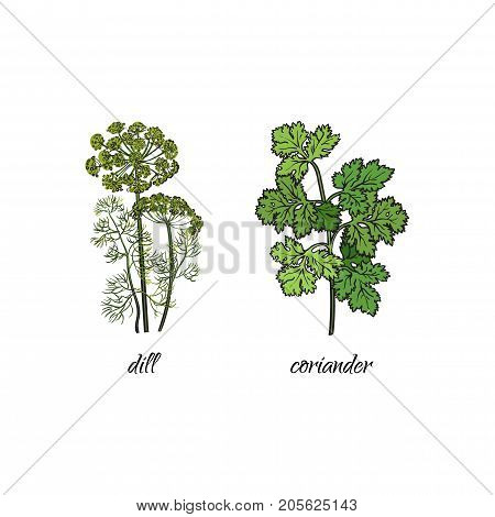 vector flat cartoon sketch style hand drawn Spices , seasoning, flavorings and kitchen herbs set. dill and coriander, cilantro leaves, stem. Isolated illustration on a white background.
