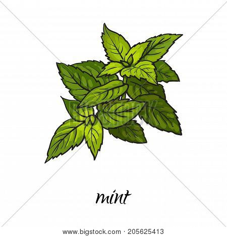 vector flat cartoon sketch style hand drawn mint leaves image. Isolated illustration on a white background. Spices , seasoning, flavorings and kitchen herbs concept.