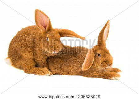 Red rabbit bunny isolated on white background