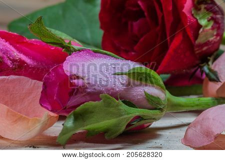 Drops Of Water Stick On Rose Petal