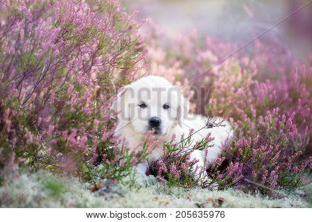 golden retriever puppy posing on a heath field