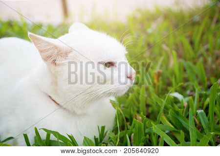 The Portrait Of White Colour Thai Cat With 2 Different Colored Eyes Selective Focus Cute Cat With Different Eyes Heterochromia Iridum