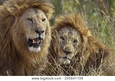Lions waitting the opportunity to have lunch. Leones esperando la oportunidad, expectantes y atentos.