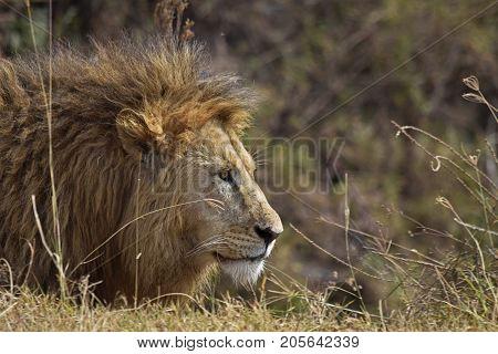 Lion waiting an opportunity in the african savanna. León atento a una oportunidad en el la sabana africana.
