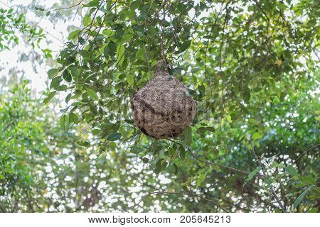 Wasps,hazardous Insects As They Build Their Large Nest Of Wasps Hangs On A Tree Branch.