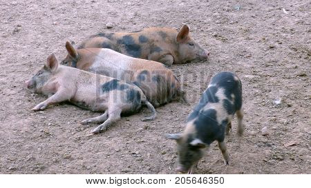 Pigs in Estancia. Bolivia, Part of south America
